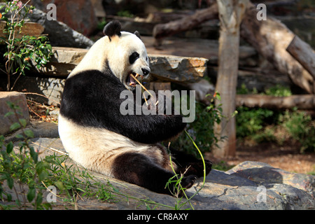 Panda gigante (Ailuropoda melanoleuca), Adulto mangiando bambù, lo Zoo di Adelaide, Sud Austalia, Australia Foto Stock
