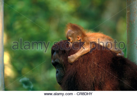 Bornean orangutan e baby, Indonesia Foto Stock