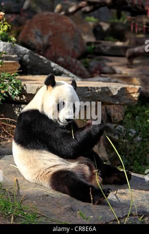Panda gigante (Ailuropoda melanoleuca), Adulto, mangiando bambù, lo Zoo di Adelaide, Adelaide, Australia Foto Stock