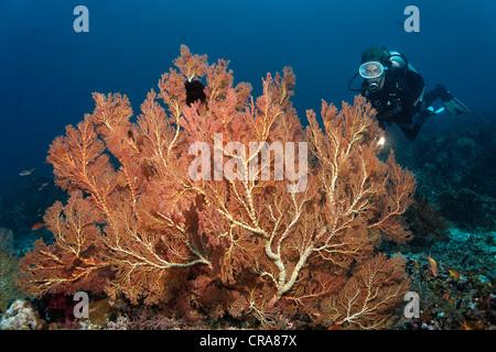 Scuba Diver osservando la grande, gorgonie rosse o appassionati del mare (Melithaea sp.) su una scogliera di corallo, Foto Stock