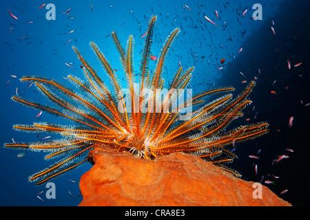 Feather Star (Dichometra flagellata) seduto su una spugna, pesca del plancton con i suoi bracci di piuma, circondato Foto Stock