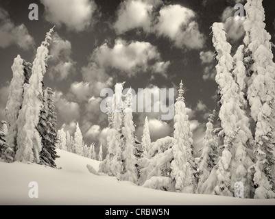 Neve pesante sugli alberi. Mt. Rainier National Park, Washington