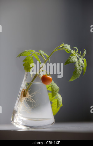 """Lycopersicon esculentum """"giardinieri delizia', Pomodoro Foto Stock"""