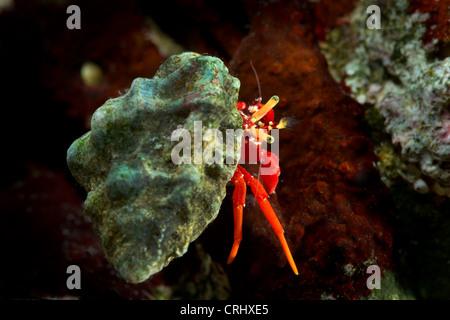 Piccolo piccolo granchio eremita CALCINUS ritratto in studio einsiedlerkrebs krebs sfondo bianco rosso blu granchi Foto Stock
