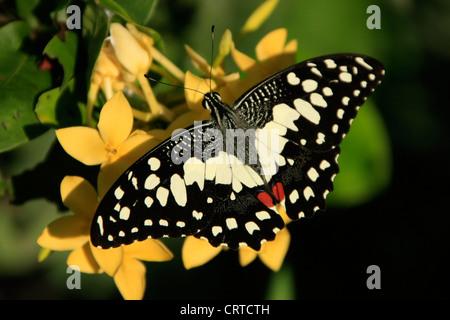 Lime Butterfly (Papilio demoleus) su fiori gialli Foto Stock