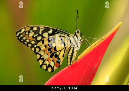 Lime Butterfly (Papilio demoleus) su un fiore rosso Foto Stock