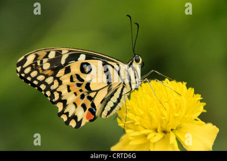 Lime Butterfly (Papilio demoleus) su un fiore giallo Foto Stock