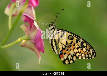 Lime Butterfly (Papilio demoleus) sui fiori viola Foto Stock