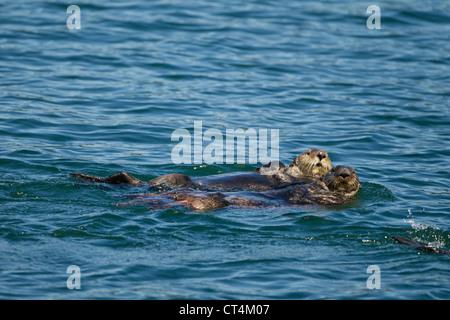 Nord America, USA, SE Alaska, Sea Otter, Enhydra lutris, galleggiante sul retro e a riposo Kake, Foto Stock