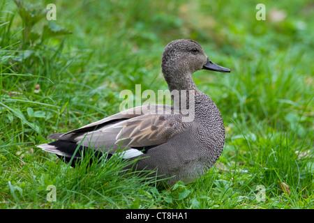 Canapiglia (Anas strepera / Mareca strepera) maschio in appoggio sul terreno, Germania Foto Stock