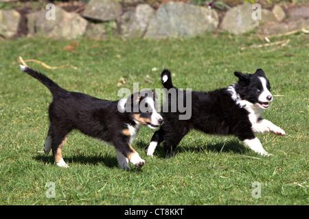 Border Collie cuccioli, in bianco e nero di cuccioli Foto Stock