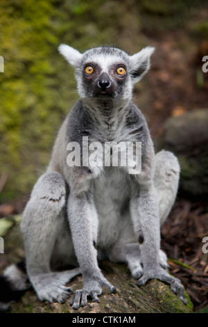 Un lemure Ring-Tailed (Lemur catta) siede in Singapore Zoo; Singapore Foto Stock