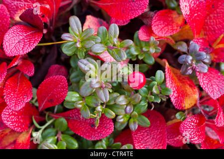 Macro di bassa Bush mirtilli rossi con uva ursina, Maclaren River Valley, centromeridionale Alaska, Autunno Foto Stock