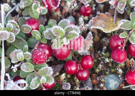 Macro di bassa Bush mirtilli, Maclaren River Valley, centromeridionale Alaska, Autunno Foto Stock