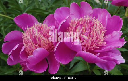 Due peonie rosa fiori vicino la peonia Foto Stock