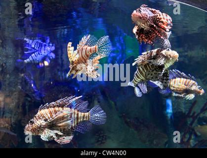 3597. Lo Zoo di subacquea, centro commerciale di Dubai, Dubai, EAU. Foto Stock