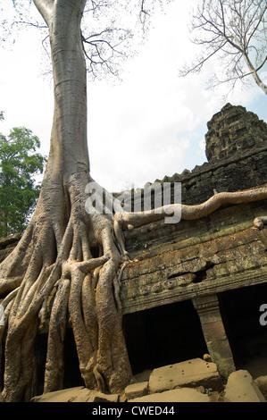 Chiudere verticale fino alle radici di un Spung albero che cresce attraverso le rovine di Ta Prohm o il Tomb Raider Foto Stock