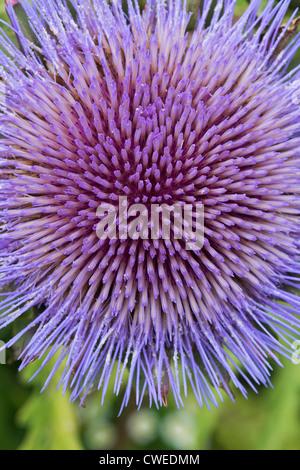 Cynara scolymus, carciofi modello di fiori Foto Stock