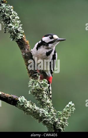 Picchio rosso maggiore / Picchio Rosso (Dendrocopos major) maschio appollaiato sul ramo coperto di licheni, Belgio Foto Stock