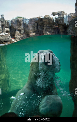 Orso polare rendendo bolle durante il nuoto presso lo Zoo di Kansas City Foto Stock