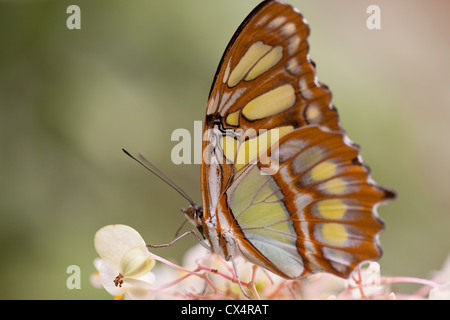 Una Malachite butterfly (Siproeta stelenes) su un fiore presso la fattoria delle farfalle in La Guacima vicino a Foto Stock