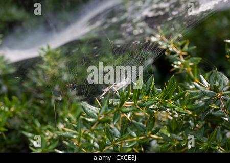 'Strumenti' Spider o 'Sheetweaver' Spider (Linyphid sp. ) In prossimità di una sezione di amaca stretching web attraverso Foto Stock