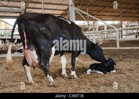 Vacca (Bos taurus) leccare il suo vitello neonato. Foto Stock