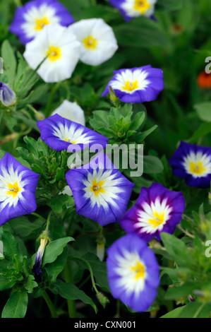 Variopinti colori luminosi gloria di mattina centinodia colore giallo blu bianco vitigno annuale del superriduttore Foto Stock