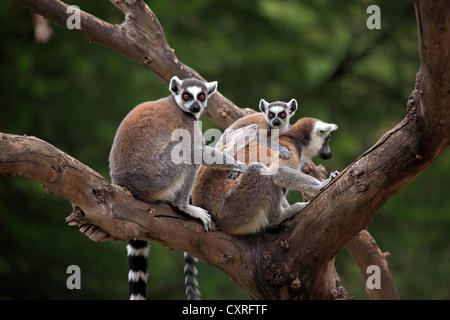 Anello-tailed lemuri (Lemur catta) con un neonato in un albero, Madagascar, Africa Foto Stock