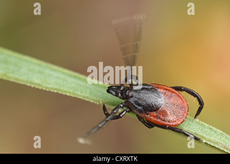 Castor bean tick (Ixodes ricinus) su una lama di erba, Hesse, Germania, Europa Foto Stock