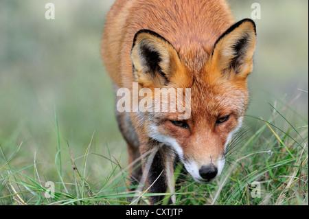 Close-up di Red Fox (Vulpes vulpes vulpes) caccia e seguendo il sentiero di profumo della preda in Prato Foto Stock