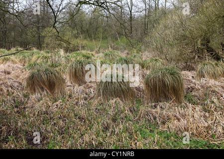 Tussock Sedge (Carex stricta) a Jackson, ceduo Staffordshire England Regno Unito Foto Stock