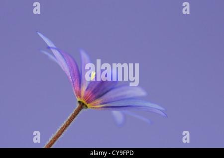 Anemone blanda. Inverno o windflower anemone di zaffiro. Daisy sagomato con fiori di colore blu pallido e petali Foto Stock