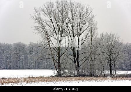 Gruppo di alberi coperti di trasformata per forte gradiente gelo su un campo nevoso in Muensterland (Renania settentrionale-Vestfalia (Germania) Foto Stock