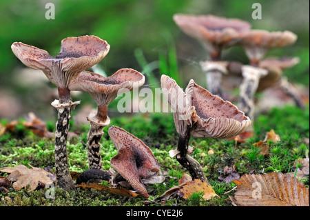 Il miele scuro funghi Armillaria solidipes / Armillaria ostoyae) sul suolo della foresta in autunno, Belgio Foto Stock