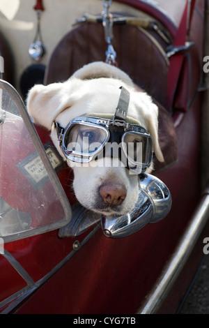 Golden Labrador seduto nel sedile passeggero di Morgan plus 4 autovettura alla moda da indossare occhiali protettivi Foto Stock