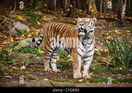 Tigre maschio in Zoo di Lipsia Foto Stock