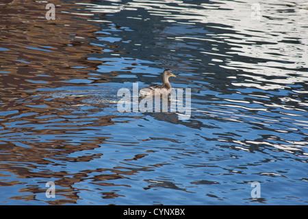 Anas platyrhynchos Mallard duck nel fiume con i riflessi degli edifici sull'acqua Foto Stock