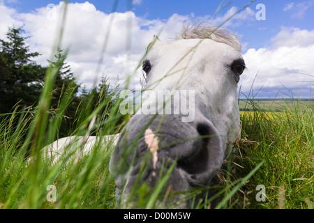 Un cavallo di mangiare erba fresca crescente sulla sommità del Muro di Adriano, Northumberland, Inghilterra, Regno Foto Stock