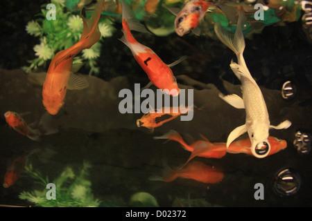 pesci di acqua dolce pesci d 39 acquario pesci tropicali