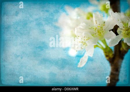 Vintage, carta macchiata con delicati fiori di ciliegio Foto Stock