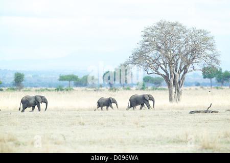 Elefante africano Loxodonta africana a piedi attraverso erba secca Mikumi Game Reserve . Sud della Tanzania. Africa Foto Stock