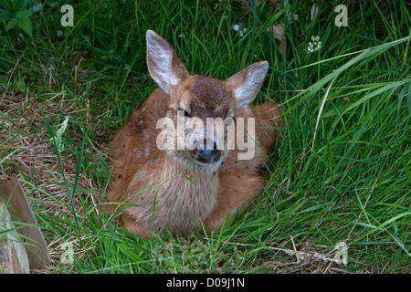 Nero-Tailed Deer (Odocoileus hemionus columbianus) fawn giacente sul terreno in Nanaimo, Isola di Vancouver, BC, Foto Stock