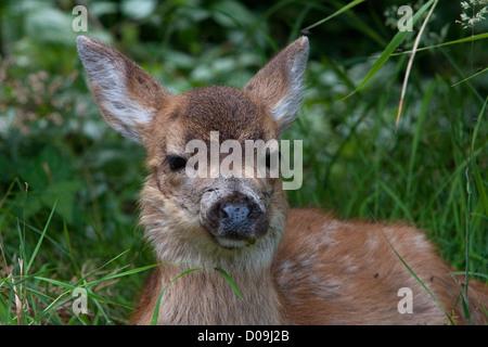 Nero-Tailed Deer (Odocoileus hemionus columbianus) fawn close-up giacente sul terreno in Nanaimo, Isola di Vancouver, Foto Stock