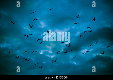 Stormo di piccioni in silhouette battenti contro un cielo drammatico Foto Stock