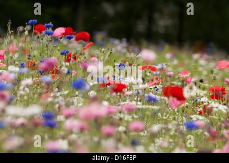 Un campo di fiori selvatici Foto Stock