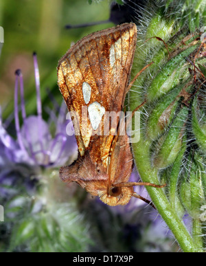Dettagliata immagine macro di un spot oro-civetta (Plusia festucae, un owlet moth) in posa su di un fiore di colore Foto Stock