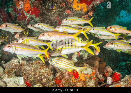 Scuola di pesce alla scogliera sottomarina Foto Stock