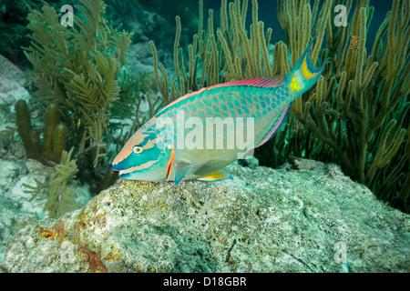 Pesce Pappagallo - Il nuoto alla scogliera sottomarina Foto Stock