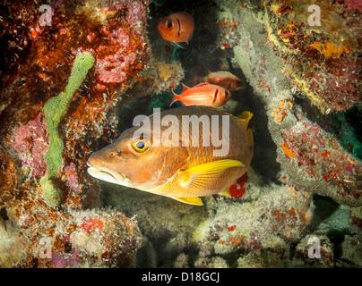 Bass pesce nuota in scogliera sottomarina Foto Stock